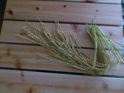 ベランダで刈り取った稲