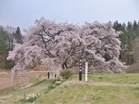 芳水の櫻 (福島県1本櫻番付 西の小結)